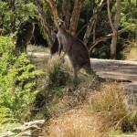 Est-ce que le kangourou est swag ?...