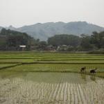 Les rizières à proximité