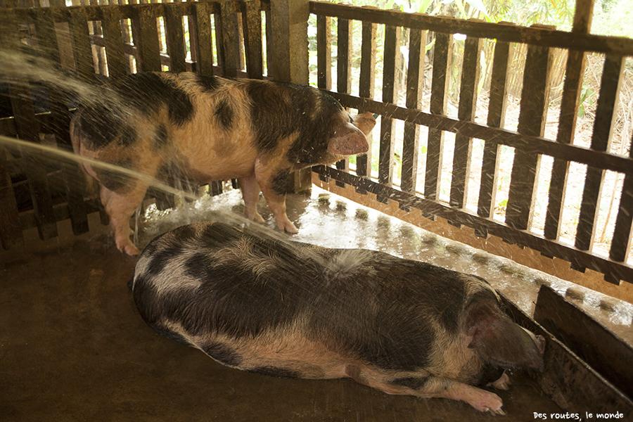 La douche des cochons