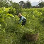 De l'herbe fraîche pour les cochons d'Inde