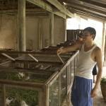 Nettoyage des cages des cochons d'Inde