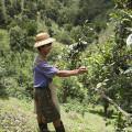 Travailleur dans un champs de thé