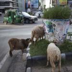 Des moutons dans la ville