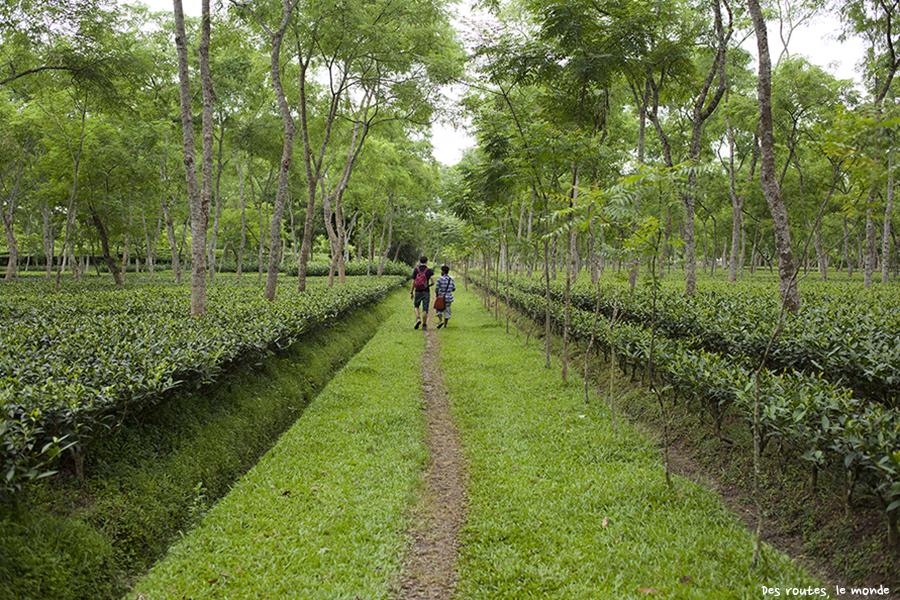 Srimangol, le pays du the