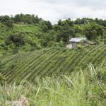 Une plantation d'ananas