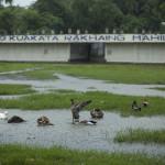 Les canards sous la pluie