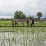 Retour à travers les rizières