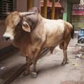 Vache Varanasi