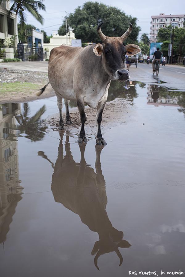 Vache et reflet