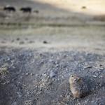 Qui regarde les yaks passer