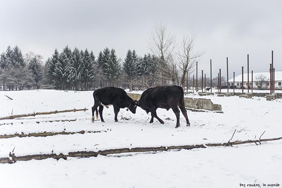 Deux jeunes taureaux